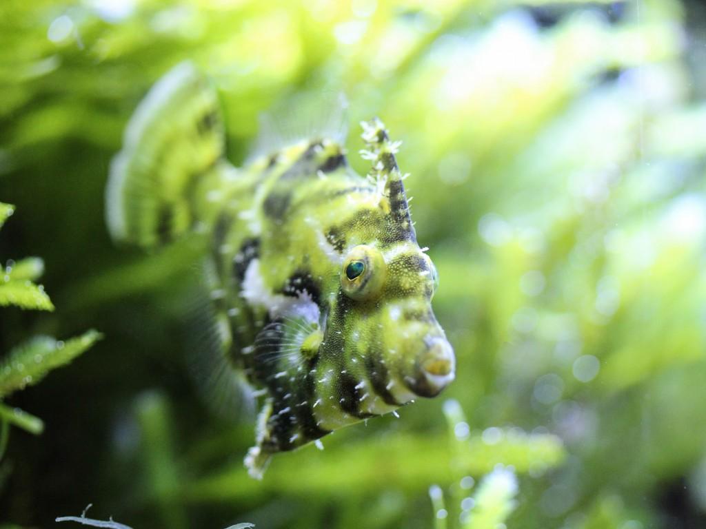 Grüner Tarnfisch