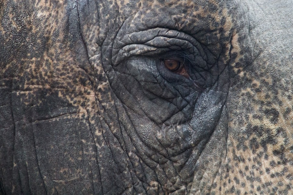 Elefanten Auge