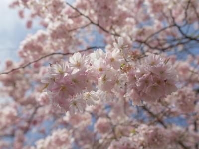 Kirschblüten – Variante 2