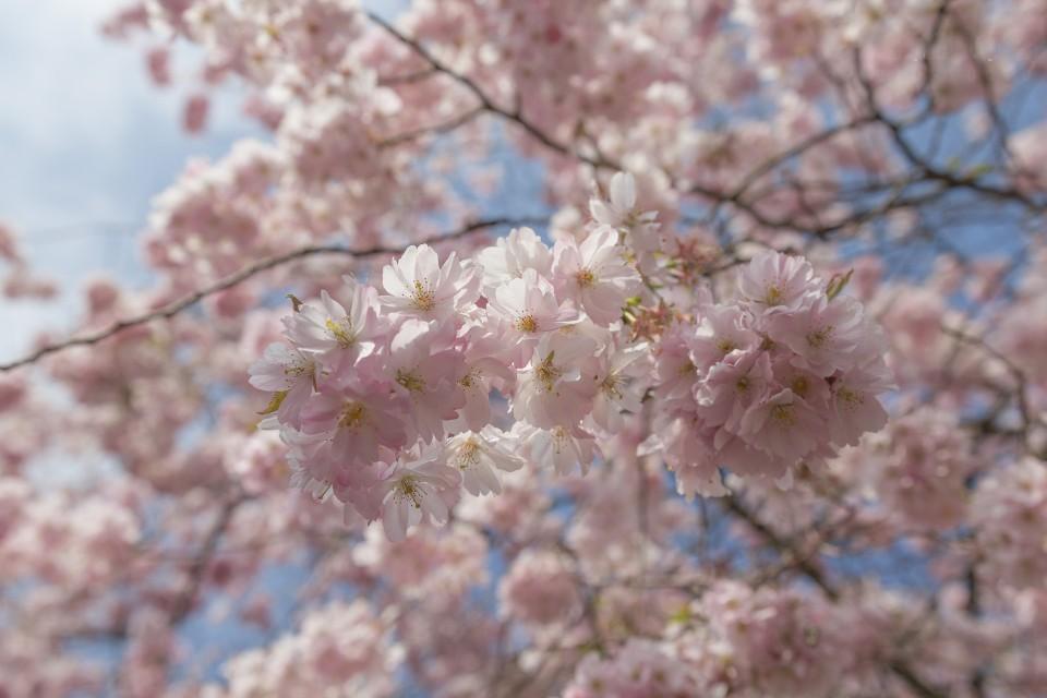 Kirschblüten - Variante 2