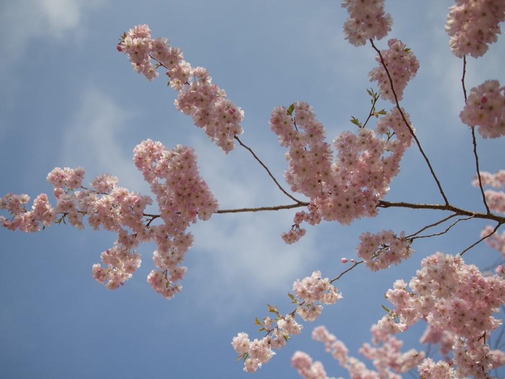 Kirschblüten – Variante 1