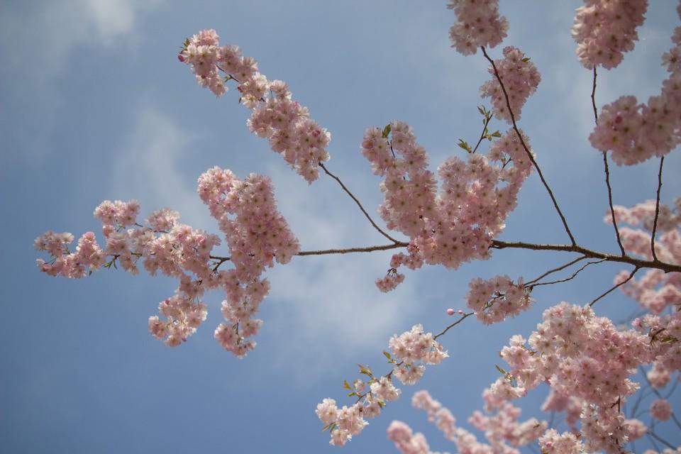 Kirschblüten - Variante 1