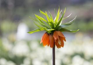 "Kaiserkrone in ""Planten un Blomen"""