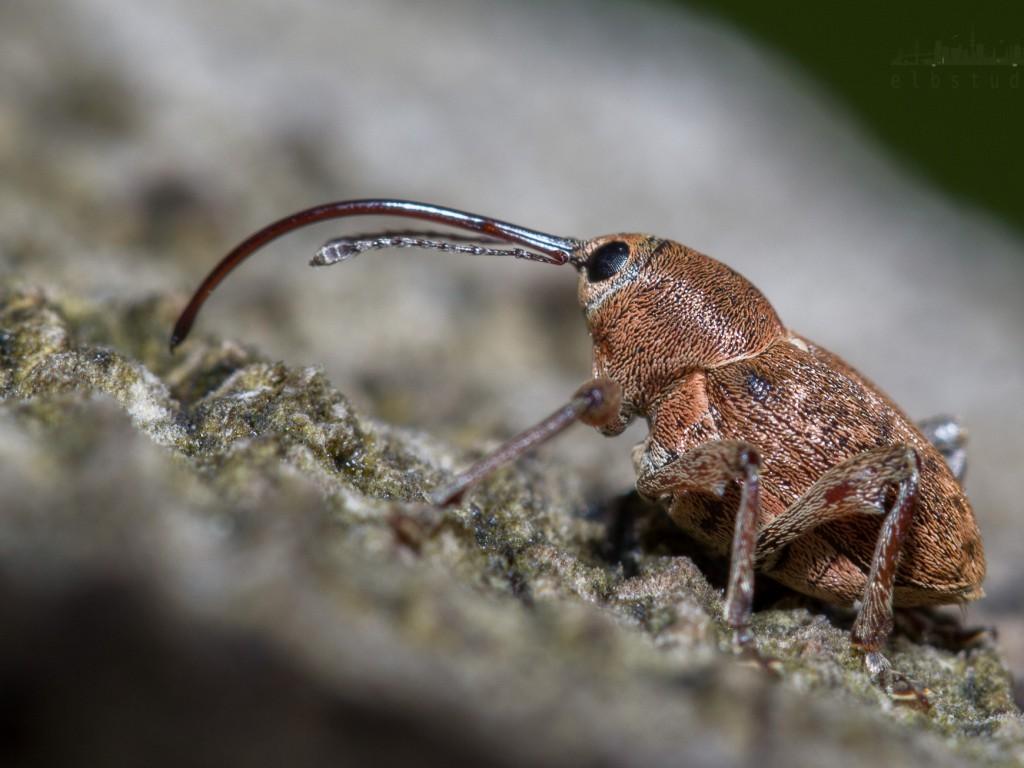 Rüsseliges Insekt