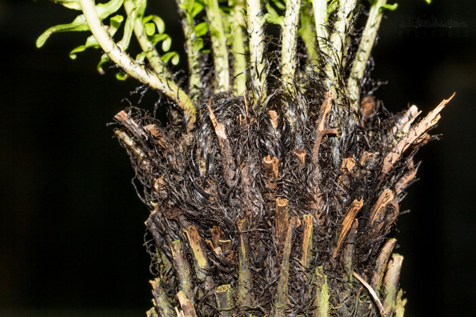 Palmenstumpf
