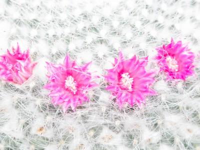 Pinke Kaktusblüten