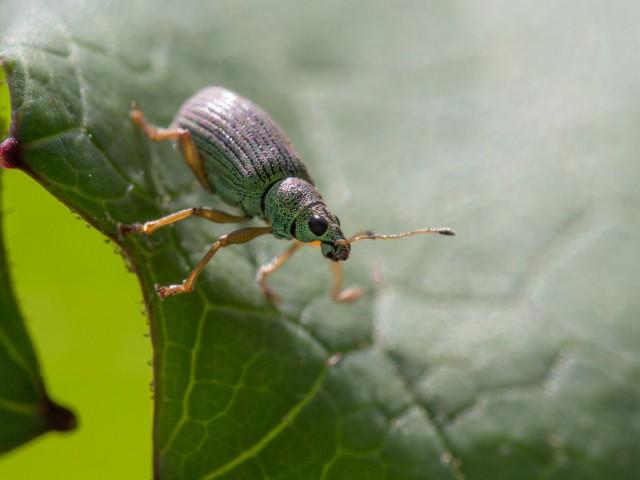 Grüner Rüsselkäfer